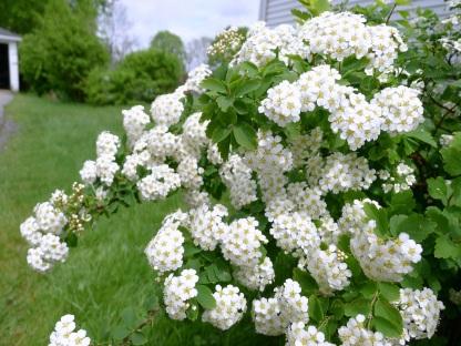 white-flower-plant1020926