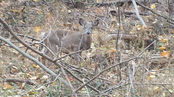little  baby deer from my run Sunday
